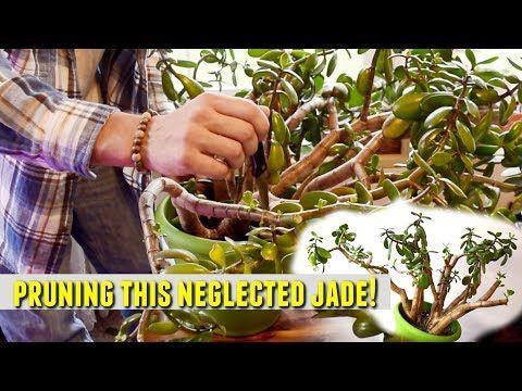 1 Major Surgery On Our Jade Plant Youtube Jade Plants Plants Jade