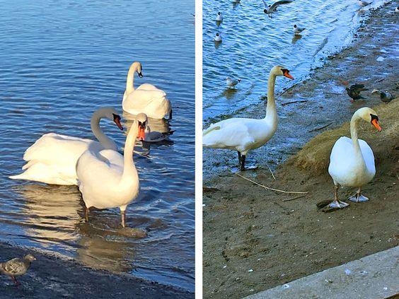 Лебеди Летнего озера без страха выходят на берег к людям, г. Калининград. Фото: Vladimir Shveda