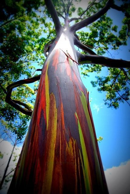 rainbow eucalyptus tree seeds 30 seeds for ts tropicales eucalyptus deglupta et maui. Black Bedroom Furniture Sets. Home Design Ideas