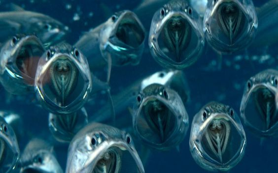 "Several Indian mackerel swim with their mouths wide open, feeding on plankton and larvae in the shallows of the Red Sea off Egypt. British photographer Dr Alex Tattersall said: ""I came across them not too far down and they just looked so beautiful hanging there with their mouths open."""