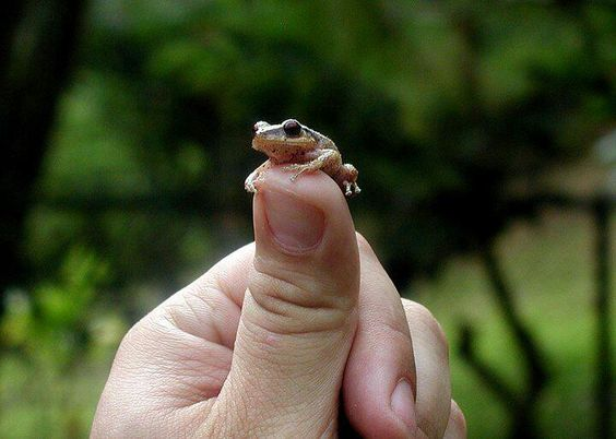 The Coqui Frog...they sing you to sleep every night while in Puerto Rico!