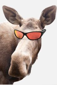 Some day I will see a moose. Though hopefully they won't be wearing sunglasses:-D