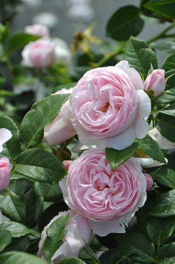 可愛らしいピンクのカップ咲き。 花付き良く、病気に強く丈夫な初心者向きのバラ  ハンスゲーネバイン Hans Gonewein http://item.rakuten.co.jp/baranoie/c/0000003350/?force-site=pc