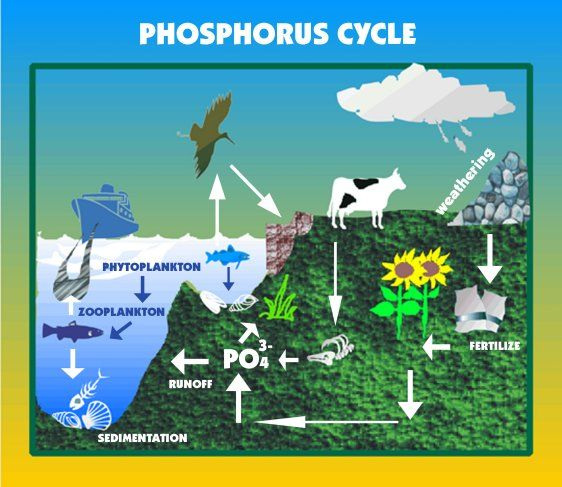 nitrogen and phosphorus cycle - Google Search | Biogeochemical ...