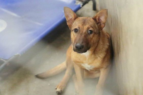 03/14/15-ODESSA URGENT -   Shepherd mix female less than a year old Keneel A23  $51 to Adopt  ADOPT/RESCUE/FOSTER  Located at Odessa, Texas Animal Control. Must have a valid Drivers License and utility bill with matching address to adopt. They accept Credit Cards, cash or checks. We ARE NOT the pound. We are volunteers who network these animals to try and find them homes. Please send us a PM if we can answer any questions for you.