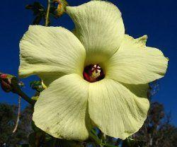 Abelmoschus manihot - growing   Grow Plants