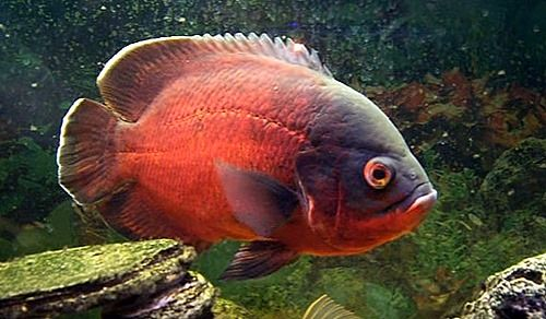 Oscar Fish Are Big Beautiful And Intelligent Oscar Fish Are Considered To Be Some Of The Most Intelligent Fish Available In The Hob Oscar Fish Fish Cichlids