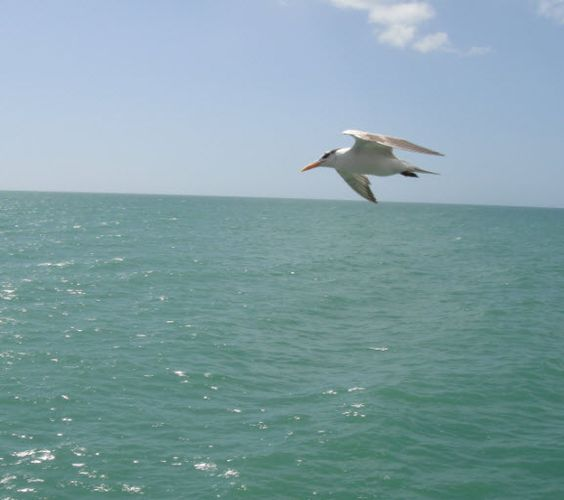 Bird in flight over the Gulf of Mexico, by Naples