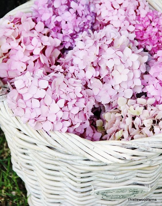 How to get my huge hydrangeas to bloom! Coffee grounds! Starbucks, here I come!