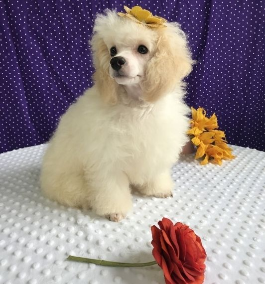 Savannah Poodle Puppy 610320 Puppyspot Puppy Facts Puppies