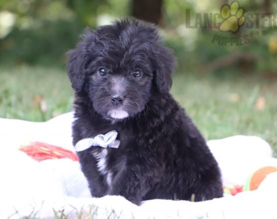 Charming Pinterestpuppies Puppiesofpinterest Puppy Puppies Pups Pup Funloving Sweet Puppylove Cute Cuddly A In 2020 Puppies Lancaster Puppies Aussiedoodle