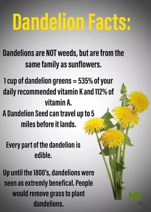 Dandelion Facts In 2020 Dandelion Benefits Dandelion Dandelion Recipes