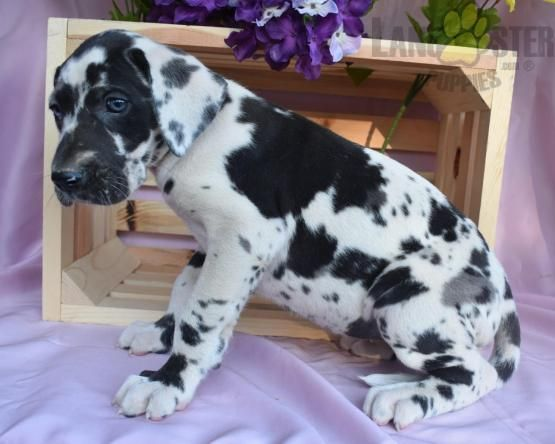 Sophie Great Dane Puppy For Sale In Dalton Oh Lancaster