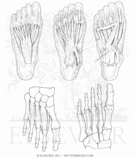 Netters Anatomy Coloring Book Unique Intrinsic Foot Muscles Enchanted Forest Coloring Book Anatomy Coloring Book Star Coloring Pages