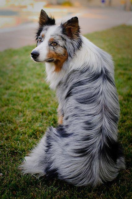 Australian Shepherd | so sweet | Pinterest | Beautiful ...