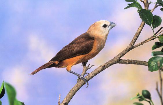 Grey banded Mannikin – Grey banded Munia, Bondol arfak (Lonchura vana) - endemic; - Passeriformes- Estrildidae