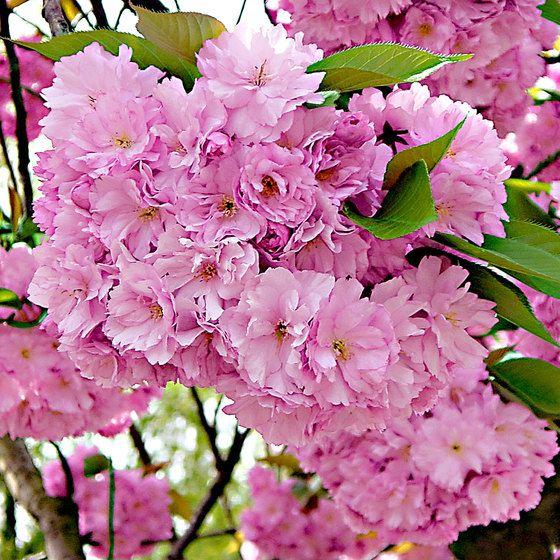 Pink Amanogawa Japanese Cherry Tree Bare Rooted Ornamental Cherry Japanese Cherry Tree Flowering Trees