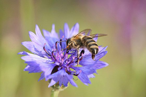 Ink National Flower Of Germany Cornflower Bee Do Bee Flowers