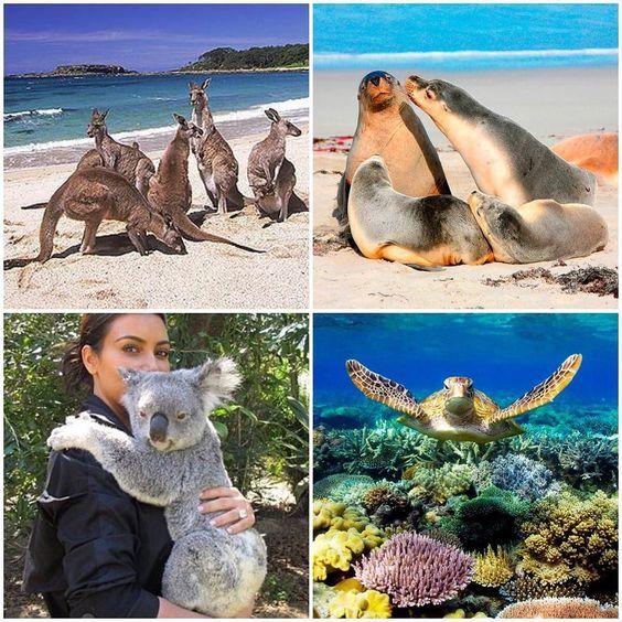a few reasons why australia is the coolest place on earth #kangaroos #kangarooisland #sealbeach #seals #koalabear #koalahugs #greatbarrierreef #seaturtles #scubadiving #wildlife #animals #australia #wanderlust by meeshmarie318 http://ift.tt/1UokkV2