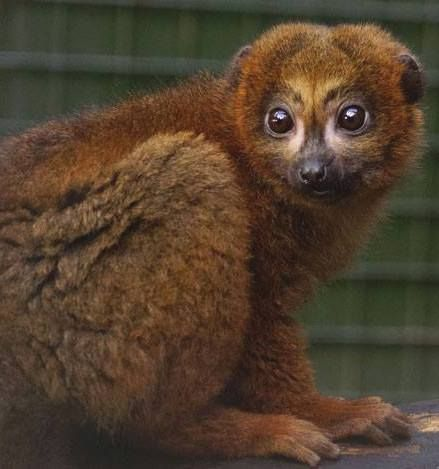 At 6 months old, little Mowgli, Edinburgh Zoo's male red-bellied lemur infant is growing up fast. #lovenature #zoo #AnimalsRock Thanks to Dawn Nicoll for this great photo.
