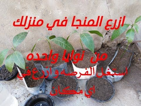 طريقة وخطوات زراعة شجرة المانجو من البذرة في البيت Youtube Garden