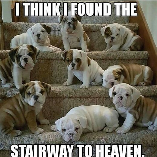 Bull Dog On Instagram Love On The Staircase Bulldogsofig To Get Featured Bulldogofig Bulldog Ig Commu English Bulldog Puppies Bulldog Puppies Bulldog Dog