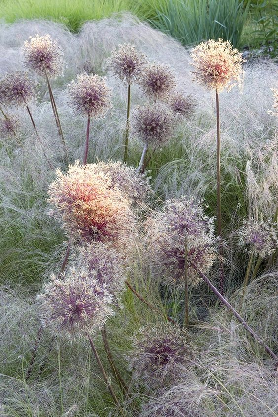 Early Morning Alliums photographed by Michael Howes