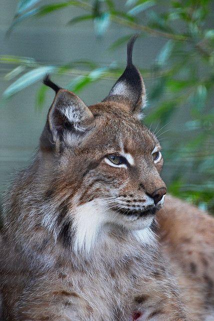 lynx. er zijn eenn paar soorten lynx dit zijn ze :Euraziatische lynx, Canadese lynx, Pardellynx, Rode lynx