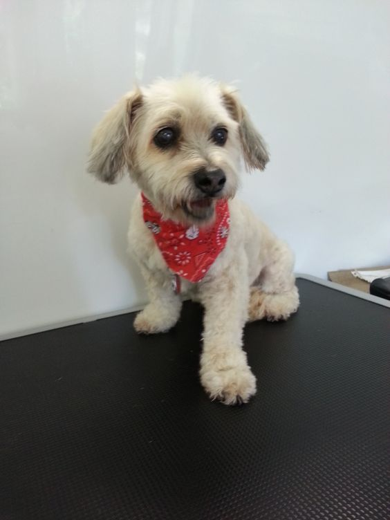 Pepper #Groomed for the 1st time by #NorthVancouver http://www.aussiepetmobile.ca/northshore/ #Grooming