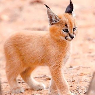 Photography by @ (Anthony Ponz). beautiful Caracal .