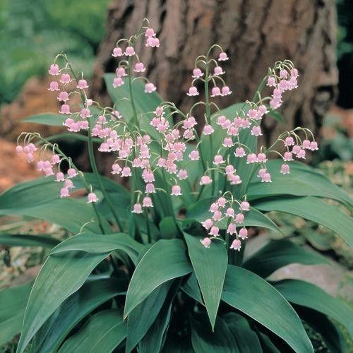 Convallaria Majalis Pink Bells Seeds Lily Of The Valley Pink Form Lily Of The Valley Flowers Valley Flowers Lily Of The Valley