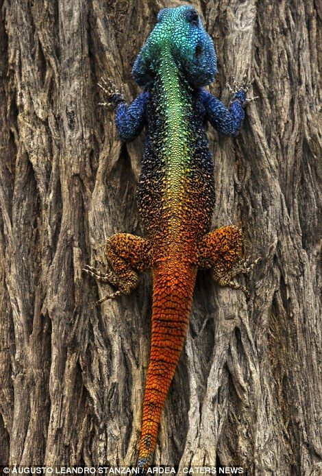 blue tailed skink coloring pages - photo#45