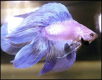 Veil tail bettas jim o 39 rourke siamese fighting fish and for Male veiltail betta fish