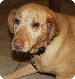 Lacon, IL - Labrador Retriever. Meet Honey, a dog for adoption. http://www.adoptapet.com/pet/10524954-lacon-illinois-labrador-retriever