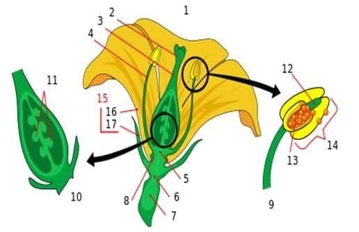 Terkeren 13 Bunga Melati Beserta Fungsinya Bagian Bagian Bunga Pengertian Fungsi Struktur Dan Gambar Struktur Anat Di 2020 Bunga Kembang Sepatu Bunga Kembang Sepatu