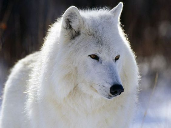 Arctic Wolf Wolf Photos Animals Beautiful Arctic Wolf
