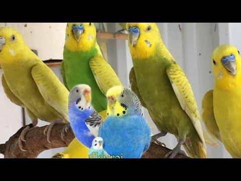 بادجي Youtube Parrot Bird The Creator
