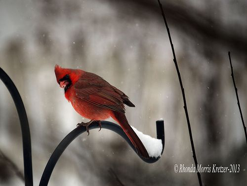 Red cardinal in falling snow