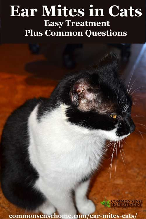 An Easy Non Toxic Home Remedy For Ear Mites In Cats Plus Answers