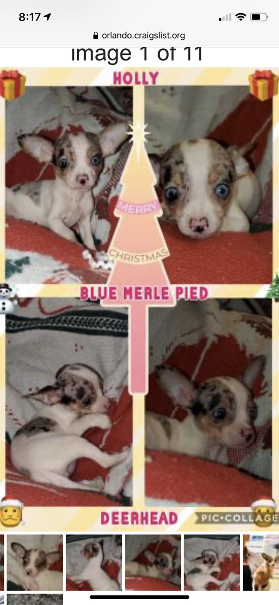 Pin By Leighann Fintel On Craft Ideas Blue Merle Pics Animals
