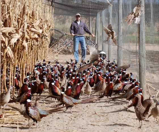 Oak Ridge Pheasants - From Chick to Adult - 3 Generations