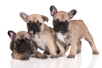 three french bulldog puppies on white
