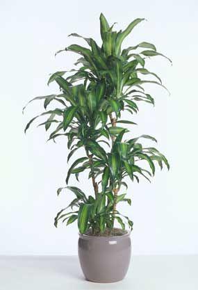 dracaena fragrans massangeana the indoor cane corn plant gardening pinterest the o 39 jays. Black Bedroom Furniture Sets. Home Design Ideas