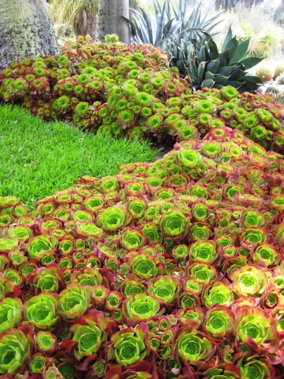 mass planting of aeoniums