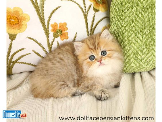 Rare Persian Kitten Glitterbug Was Blessed With A Coat That Looks Like It Was Sprinkled With Gl Persian Kittens For Sale Persian Kittens Persian Cat Doll Face