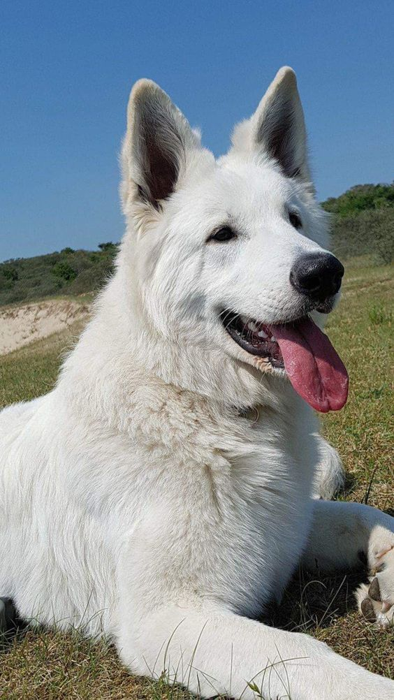 White German Shepherd Dog Breed Zwierzeta Wilki Owczarek