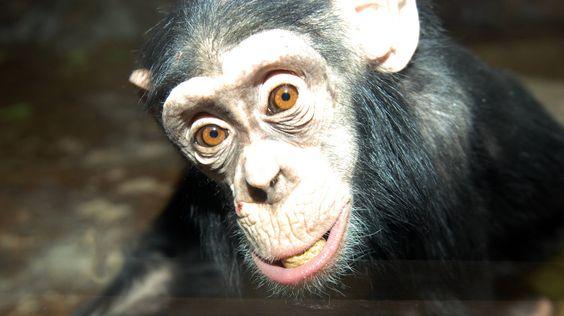 Curious chimpanzee