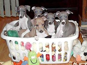 Italian Greyhounds! Rescue them! They are awesome dogs!