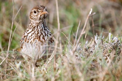 Alondra Conservacion De La Especie Perros Animales Y Aves