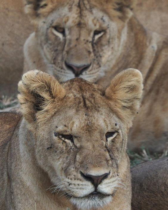 #myfssafari #lion
